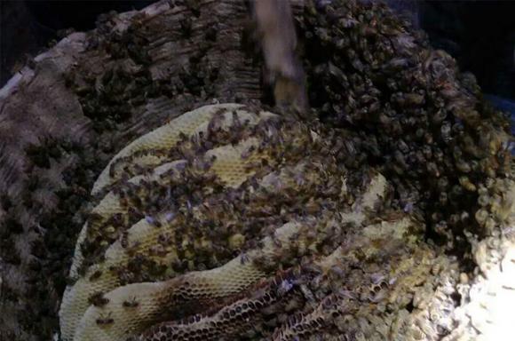 取蜂蜜实景